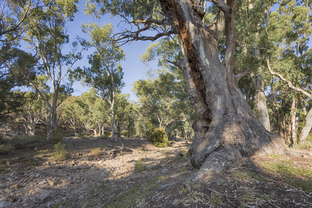 A beautiful old River Gum on Mambray Creek in South Australia.