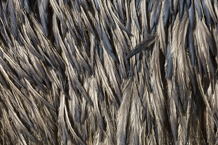 Close up of Emu feathers as a background.