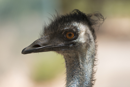 A large flightless bird, an emu portrait. 写真素材