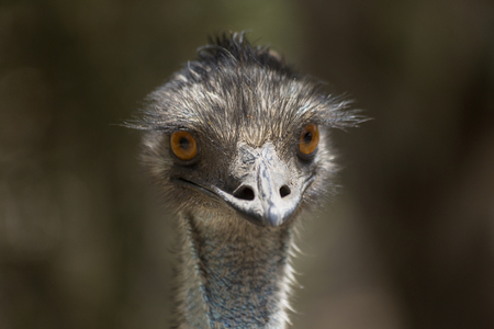 A large flightless bird, an Emu portrait.