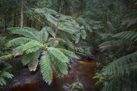 Beautiful Tree Ferns in rainforest near Strahan Tasmania. 写真素材