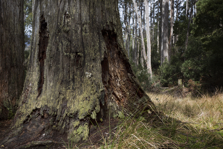 An old decaying tree in an Australian forest.