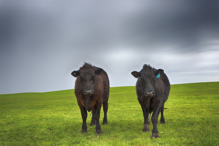 Two cows on a wet field with dramatic rainy clouds. 写真素材