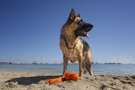 A beautiful German Shepherd portrait at the beach with favourite toy. 写真素材