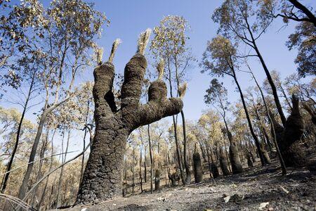A native West Australian plant after a bushfire.