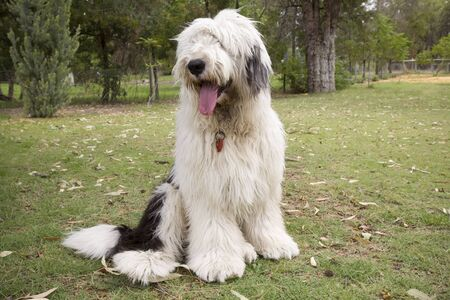 An Old English Sheep Dog sitting on the lawn.