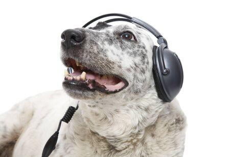A relaxed Blue Heeler listening to music through headphones.
