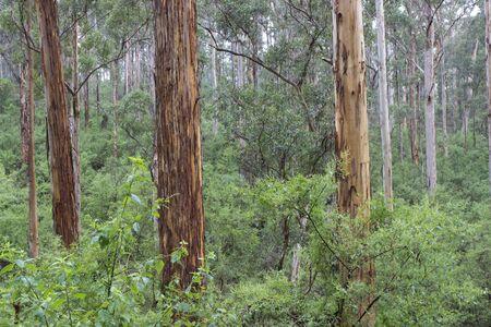 Tree trunks in a beautiful Australian forest.