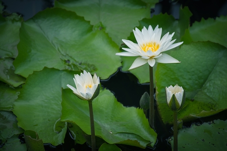 White lotus or water lily blossom flower in the pond with green leaves background