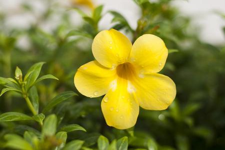 50mm: Yellow Allamanda shot after rain with 50mm