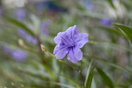popping: Purple waterkanon, waterkanu, popping pod, cracker plant, shot after rain