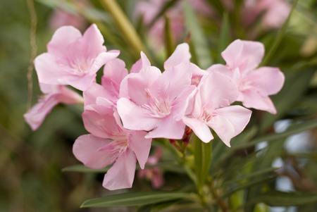 nerium: Pink nerium oleander flowers
