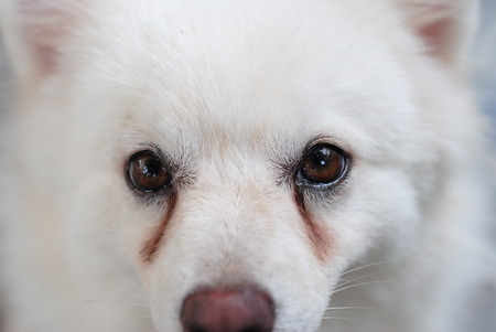 White puppy with tear stains on its eyes 스톡 콘텐츠