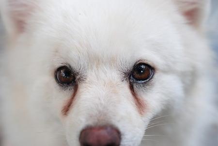 chien: chiot blanc avec taches de larmes sur ses yeux