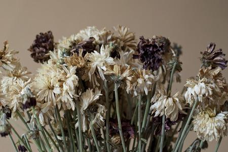 droop: Dry Chrysanthemum Flowers