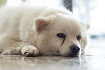fluffy: Fluffy spitz dog lying down
