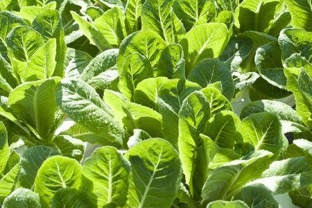 hydroponic: Hydroponic Salad Vegetables