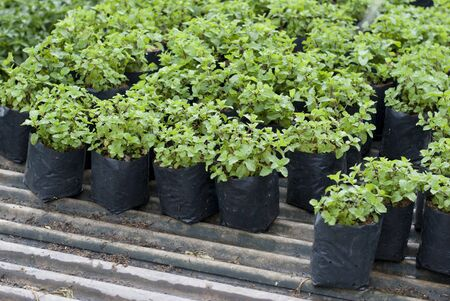 peppermint: Peppermint in a plant nursery