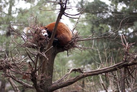 glancing: Sleepy Red Panda glancing at a camera