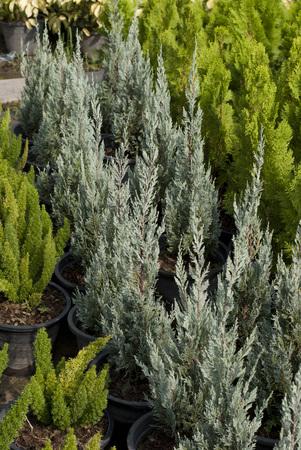 squamata: Blue Dwarf Pine, Juniperus squamata Stock Photo