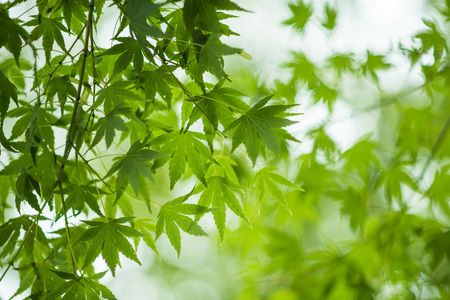 field maple: Acer palmatum, called Japanese maple or smooth Japanese-maple, is a species of woody plant native to Japan, China, Korea, eastern Mongolia, and southeast Russia. Stock Photo