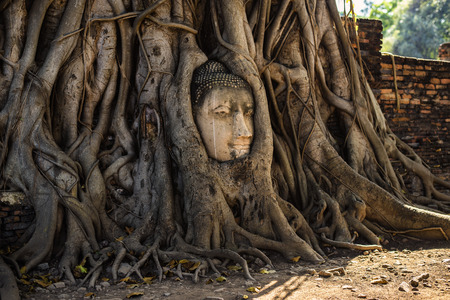 phra nakhon si ayutthaya: The head of a sandstone Buddha statue nestled in the tree roots beside the minor chapels of Wat Mahathat, Phra Nakhon Si Ayutthaya Province, Thailand. Stock Photo