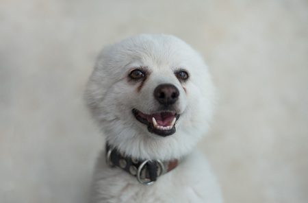 A young Japanese Spitz dog looking at the camera Stock Photo