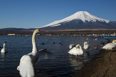Swan flapping wings and Mount Fuji, Japan 写真素材