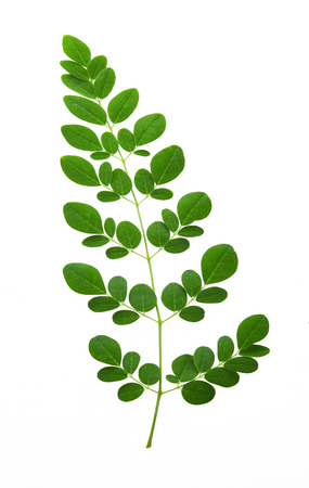 moringa leaves isolated on white background Stok Fotoğraf