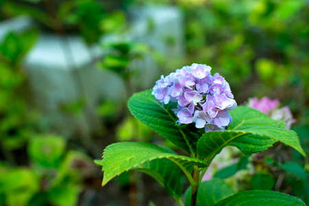 nosegay: Panicle of Purple Flowers - Hydrangea