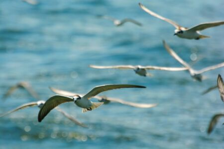 wingspread: Blurry image.  Seagulls flying over sea Stock Photo