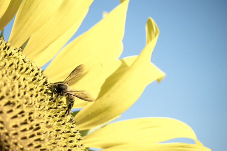 bee on flower: Sun flower and Bee Stock Photo