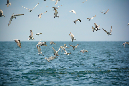 darted: Seagulls darted into the sea to eat anchovy, Stock Photo