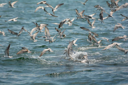 darts flying: Seagulls darted into the sea to eat anchovy, Stock Photo