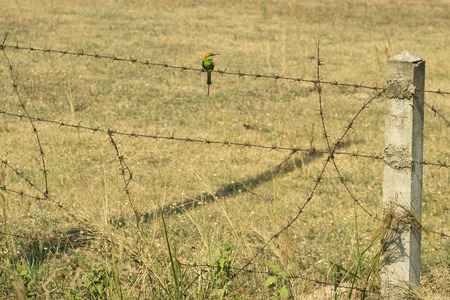barbed wires: Alone on barbed wires. Bird, Green bee eater. Stock Photo