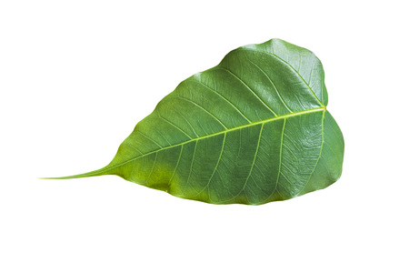 Bonhi leaf isolated on white background