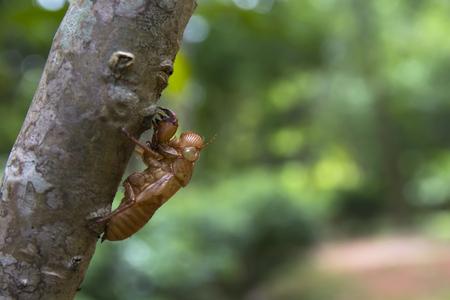 Cicadas Softshell on wood trunk. Abundance of forest concept.