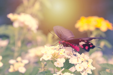lantana: Red butterfly with Hedge flowers.  Beautiful nature.
