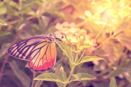 lantana: Painted Jezebel butterfly and flowers.  Beautiful nature.