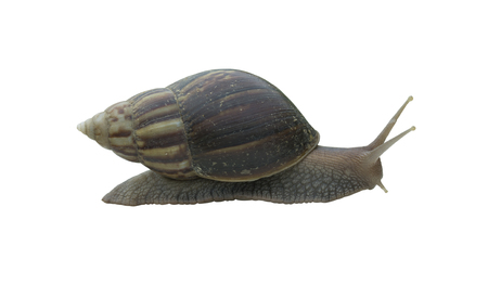 Snail crawling isolated on white background. This has clipping path