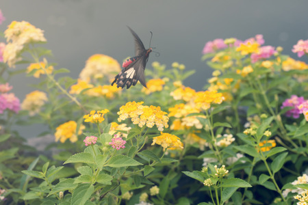 lantana: Beautiful flowers with motion of flying butterfly. Common Rose Butterfly.