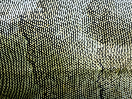 Close-up on Iguana skin. Abstract texture background.