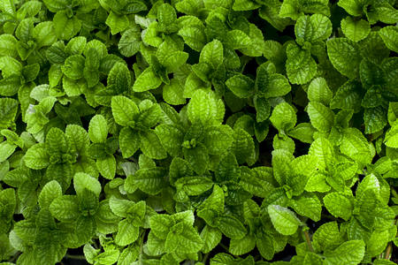 Green mint leaves. Nature background.