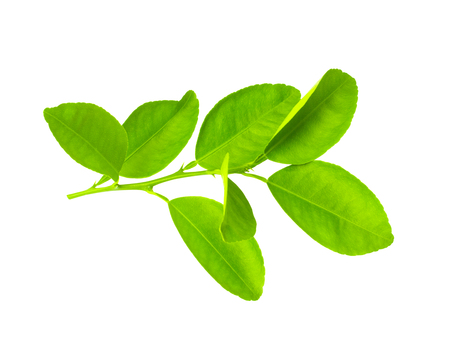 Citrus leaves isolated on white background. This has clipping path.