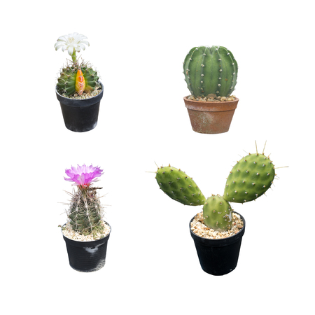 4 objects of Cactus plant in a pot with flower isolated on white background. This has clipping path.