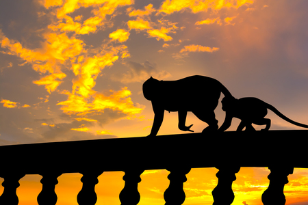 Silhouette image. Two monkeys (Mom and son) walking on concrete fence. Stock Photo