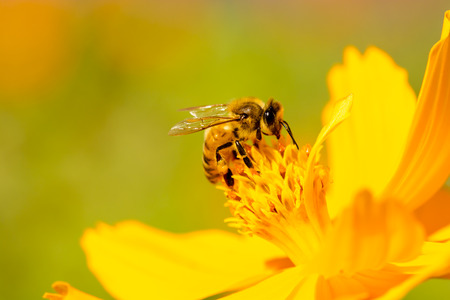 Beautiful nature with bee on daisy flower. Stock Photo
