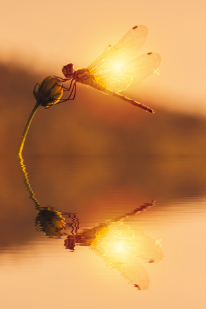 Dragonfly on a flower and water reflection.