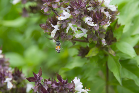 Honey bee flying to swarm on basil flowers.