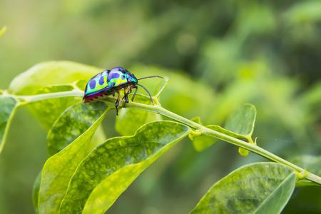 Green Bug (Chrysocaris stollii) on green leaf.